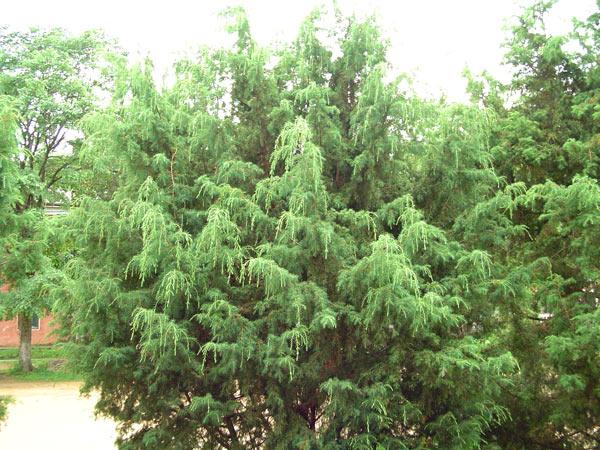 Небольшое до 10 м высоты дерево с